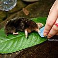 20120923搶救土撥鼠(台灣鼴鼠)大作戰