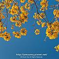 最美的黃花風鈴木公園寫真記