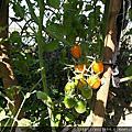 2011-12籬笆下的番茄
