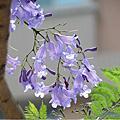 2012_科教館藍花楹