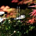 春日記行。奧萬大楓之祭-090412