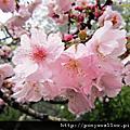 [遊]2012阿里山賞花遊迷霧森林