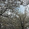 2012.4.19汝矣島漢江公園+國會議事堂-賞櫻