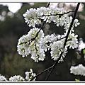 三峽 鳶尾山 鳶山東峰 福德坑山 賞櫻花