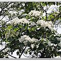 三峽 五十分山 油桐花