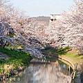 2014春櫻奈良之行