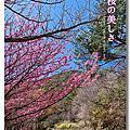 【武陵】櫻花季