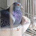 藍海-公鴿