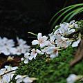 2010.05.04 小粗坑賞桐步道