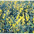 2010十一月。油菜花田
