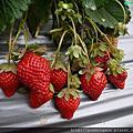 生平第一次大湖採草莓! 大湖酒莊與大自然草莓園一次走透透!!!