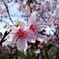 20090228三芝櫻花季