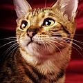 孟加拉豹貓