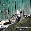陽明山的貓