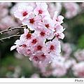櫻之花‧拉拉山