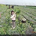 2012.1彰化拔蘿蔔記