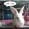 中途兔-小捲