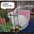 中途兔-菲菲