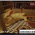 中途兔-大白