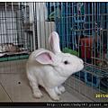 中途兔-白哥
