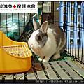 中途兔-米果