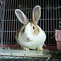 中途兔-艾咪(22兔之1)