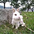 中途兔-魯夫