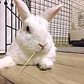 小茉莉 - 高雄退養多次的醫院棄兔