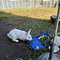 尤達 - 高雄橋頭菜田棄兔