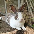 自強號 - 桃園自強里路上棄兔