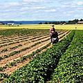 瑞典草莓季