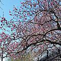 D.C. Cherry Blossom Festival