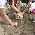 2011年8月21白沙灣之我養到了吃勁量電池渾身是勁的水犬