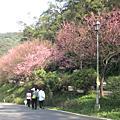 汐止大尖山櫻花