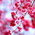 烏來櫻花祭