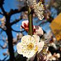 東京湯島天神梅祭