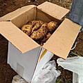 番婆林挖地瓜