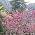 20120221 烏來雨中賞櫻