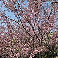 20130310 陽明山花季
