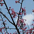 20090222 戀戀草山:2009陽明山花季