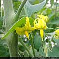 玉女小蕃茄黃花朵朵開