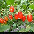 紅通通的玉女小蕃茄