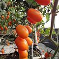 橙蜜香小蕃茄