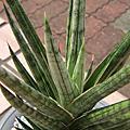 虎尾蘭 Sansevieria francisii