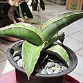 虎尾蘭 Sansavieria Lavranos 23251