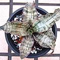 虎尾蘭 Sansevieria Kirkii var. pulchra 'Coppertone'