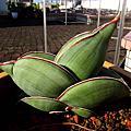 香蕉 虎尾蘭