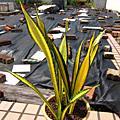 Sansevieria trifasciata 'Forescate'