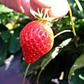 2009大湖草莓