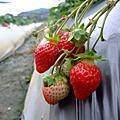 2010新竹尖石+關西草莓